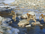 Snub-Nosed Monkeys Navigate Rocks and Rivers With Grace