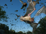 Mexican free-tailed bats fleeing Eckert James River Bat Cave Preserve