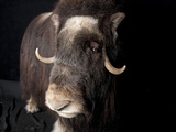 A Musk Ox  Ovibos Moschatus