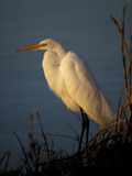 A Great White Egret  Ardea Alba  on the Shoreline of a Lake