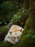 A Spirit or Kermode Bear  Resting on a Bed of Moss