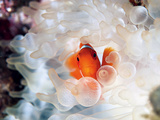 A Spine-Cheek Clownfish Nestles in Its Bulb Tentacle Sea Anemone