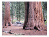 Sequoia Trees 1