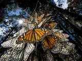 Millions of monarch butterflies travel to winter roosts in Mexico. Papier Photo par Joel Sartore