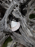 A Shell Nestled on Driftwood