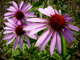 Close Up of a Purple Coneflowers  Echinacea Purpurea