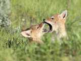 Coyote Pups  Canis Latrans  Being Playful