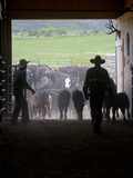 A Cowboy in a Barn Opens a Corral Gate for His Cattle