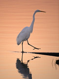 A Great White Egret  Ardea Alba  Stepping onto Shoreline