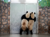 Two Giant Pandas  Ailuropoda Melanoleuca  Standing at a Door