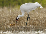 A Whooping Crane Female Offers An Insect to Its Hatchling