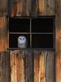 A Barn Owl, Tyto Alba, in the Window of a Barn Papier Photo par Robbie George