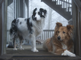 Portrait of Two Pet Australian Shepherd Dogs on a Wooden House Deck