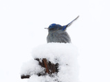 A Western Bluebird  Sialia Mexicana  in a Snow Storm on a Fence Post