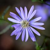 Closeup of an Aster Flower
