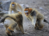 A Male Snub-Nosed Monkey Snarls and Barks at His Territorial Rival