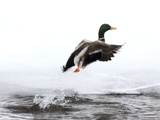 A Mallard Duck  Anas Platyrhynchos  Takes Flight from a Cold River