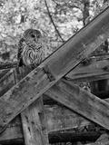 A Barred Owl  Strix Varia  Sits on a Farmer's Gate