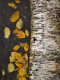 Leaves Float Past a Fallen Birch