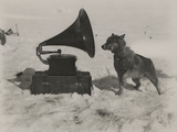 One of Scott's Sled Dogs Listens to a Gramaphone While on Expedition to the South Pole Papier Photo par Herbert Ponting