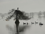 A Great Blue Heron Sitting in Cypress Tree  with Geese Swimming Below