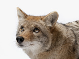A Coyote at the Great Plains Zoo