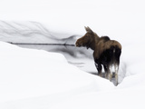 A Moose  Alces Alces  Standing in Water in a Snowy Landscape