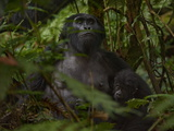 A Young Mountain Gorilla and Its Mother Are Alert to Human Visitors