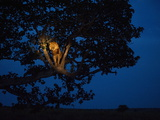 An African Lion Climbs a Tree to Sleep