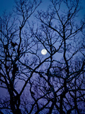 The Full Moon Peaks Between the Bare Branches of a White Oak Tree