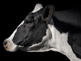 A Holstein Cow With a Piebald Coat at the Indiana State Fair