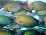 Yellowfin Surgeonfish Crowd the Water at Nikumaroro