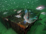 A Gray Triggerfish Hovers in Front of Old Chicken-Transport Pens