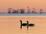 A Pair of Canada Geese  Branta Canadensis  at Sunrise
