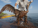 A severely oiled brown pelican is rescued