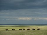 Wild American Bison Roam on a Ranch in South Dakota