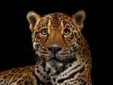 A Captive Jaguar