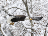 A Bald Eagle  Haliaeetus Leucocephalus  Flying in a Snowy Landscape