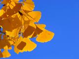 Golden-Hued Ginkgo Leaves Against a Blue Sky