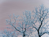 Tree Branches Covered in Rime Ice