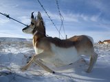 A Barbed Wire Fence Is An Obstacle for Migrating Pronghorns