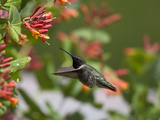 A Hummingbird Sipping Nectar from Honeysuckle Flowers
