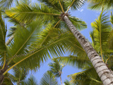Palm Trees  Punta Cana  Dominican Republic  West Indies  Caribbean  Central America