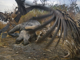 Vultures Scavenge a Female Rhino That Was Killed By a Pair of Tigers