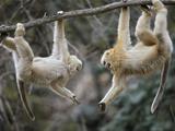 Juvenile Male Snub-Nosed Monkeys Play-Wrestle