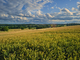 Wheatfield  Warwickshire  England  United Kingdom  Europe