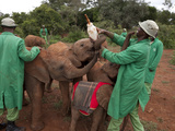 Orphan Elephants Playfully Vie for a Bottle of Formula