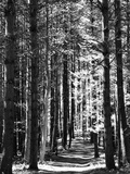 Tall Pine Trees Bordering a Forest Path