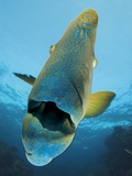 A Humphead Wrasse on Opal Reef