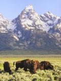 Bison  Bison Bison  Grazing at Base of Grand Teton Mountain